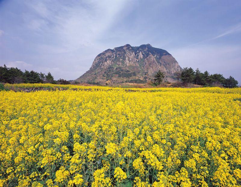 濟州島上黃澄澄的油菜花田(圖/Republic of Korea@Flickr)