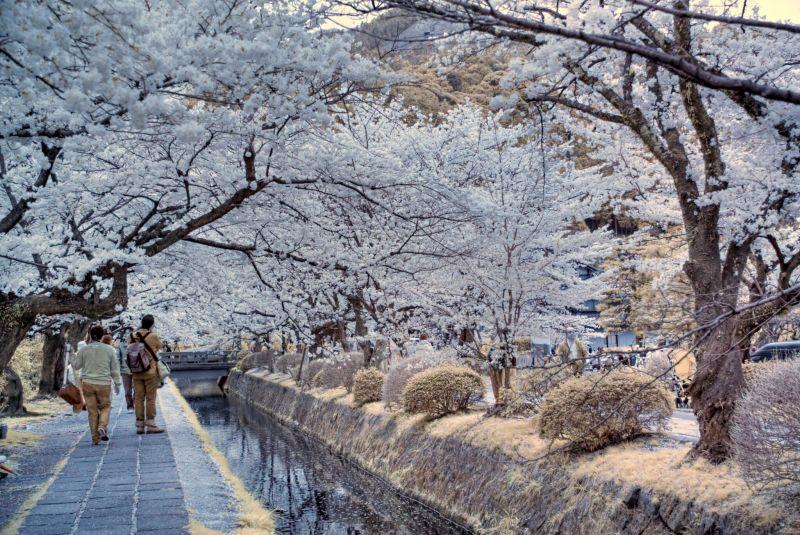 漫步櫻花雨(圖/fortherock@Flickr)