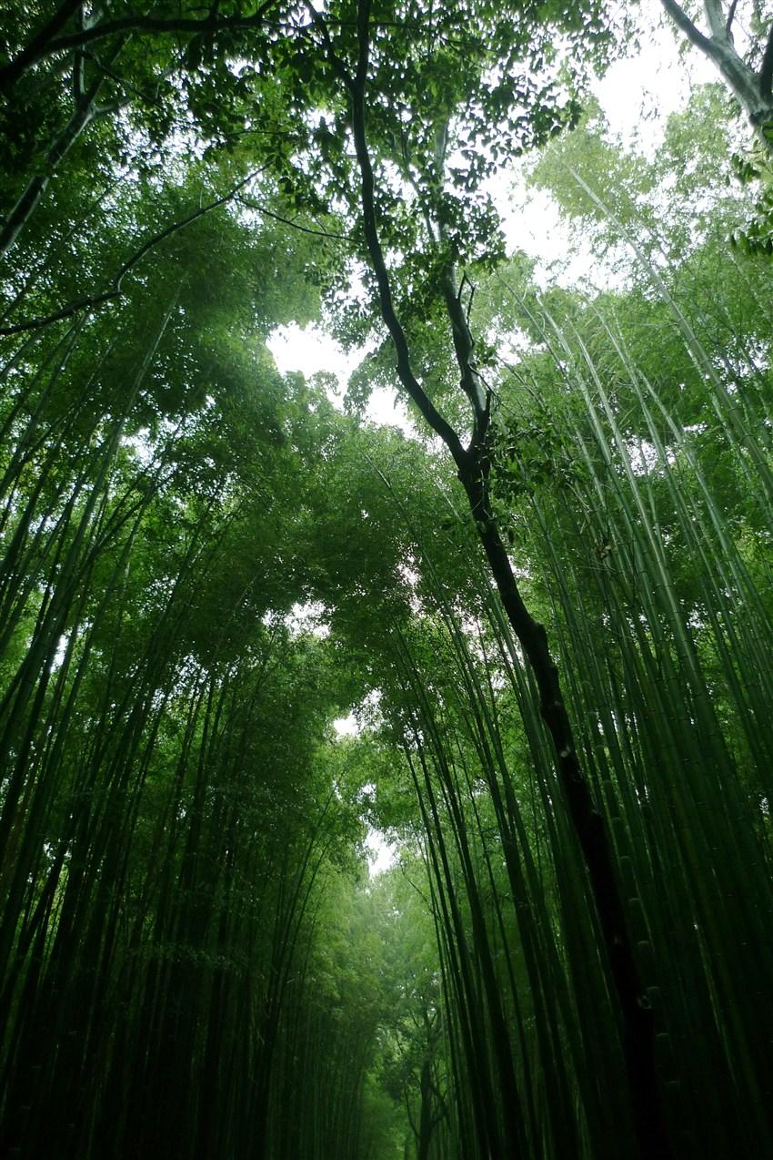 京都岚山必访 嵯峨野竹林,野宫神社,天龙寺图片