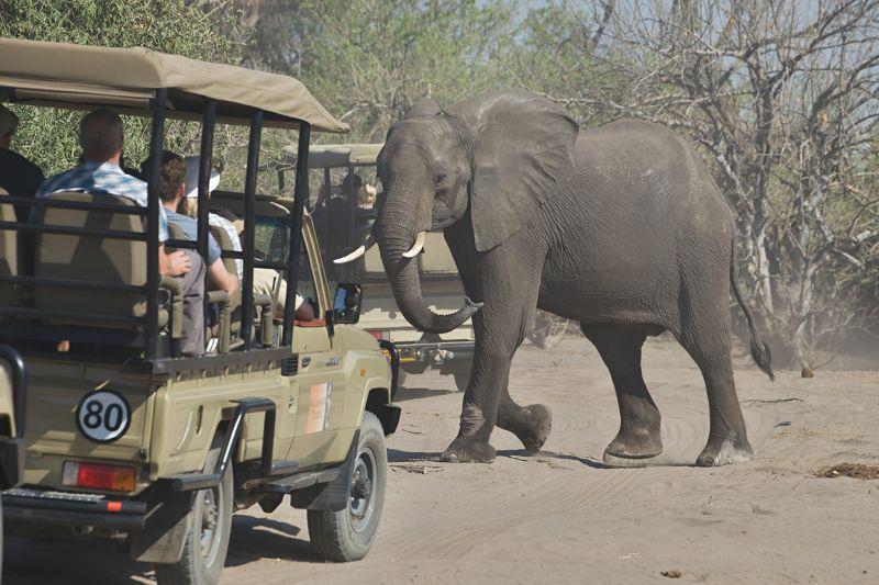 就算搭乘遊獵車,碰到象群時還是得要將路讓給牠過。(圖片來源:shutterstock)