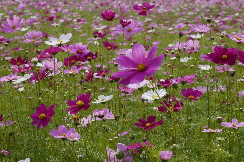 梅花湖畔冬季限定的波斯菊花海,粉紅色的可愛色彩,風靡無數攝影者的心。(欣傳媒攝影)