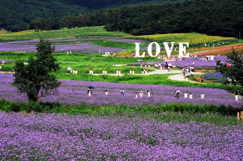 瀋陽棋盤山世博園中的薰衣草相當美麗。