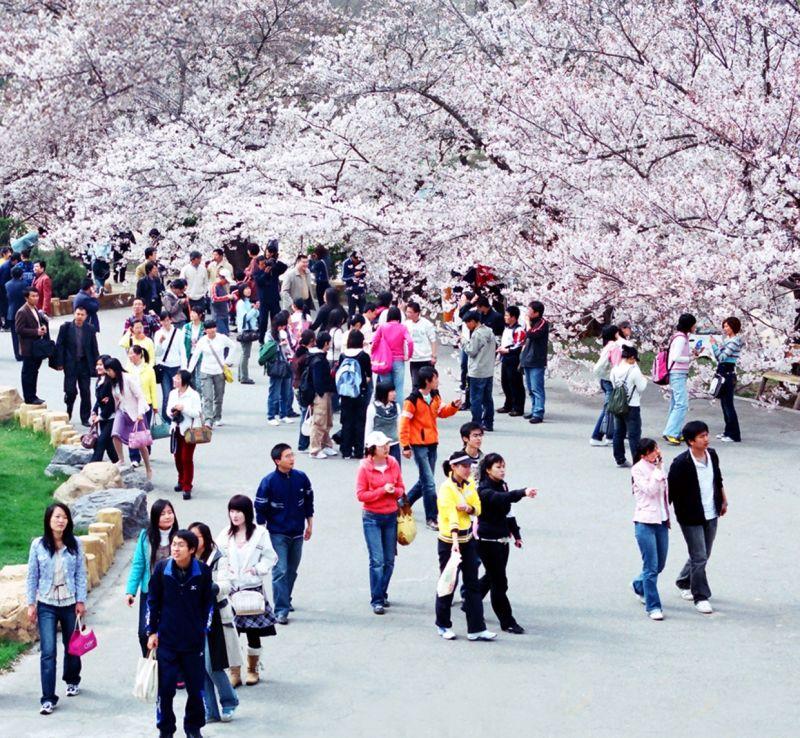 大連的櫻花季相當有名,每年吸引許多旅客來此賞花。