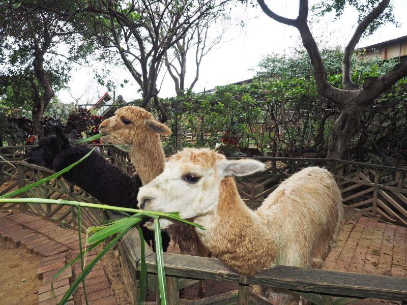 羊世界牧場內,不只有羊咩咩,還有超可愛羊駝唷!(攝影/劉宸嘉)