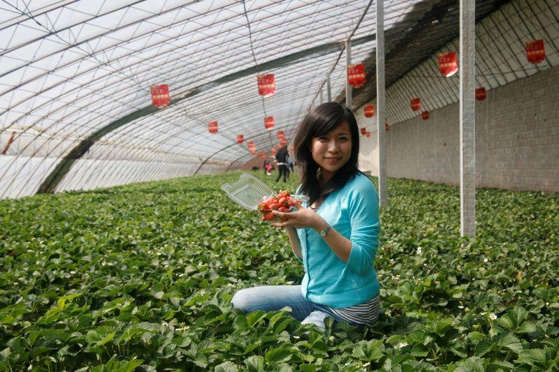 大連草莓大顆又清甜,當季來旅遊一定要列入美食清單。