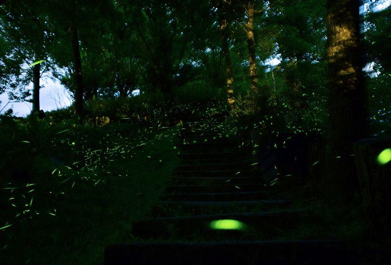 螢火蟲是優質環境的生態指標,需要乾淨的水源及食物才得以生存/圖 2017大地螢光藝術季 活動官方提供