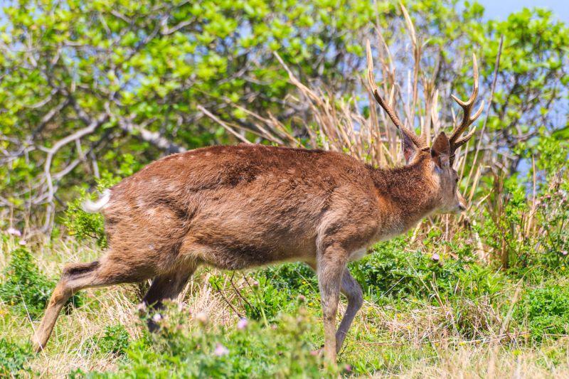 當人一多,或者人太靠近,梅花鹿就會「拔腿就跑」 圖攝/吳仁凱