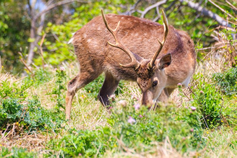可愛的梅花鹿在大坵島上等你喔~ 圖攝/吳仁凱