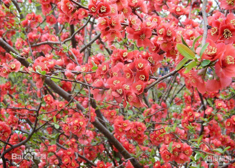 『龍王塘水庫』擁有上千株壯觀的櫻花園。(圖片來源 百度百科)