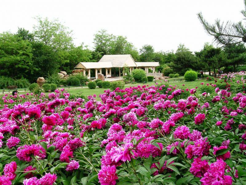 瀋陽世博園不定時會舉辦各花種的展覽,圖為牡丹芍药花展。