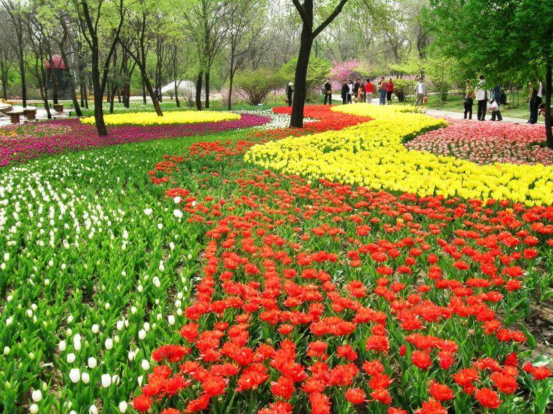 瀋陽世博園最讓人津津樂道就是鬱金香區,多達600萬株美不勝收!