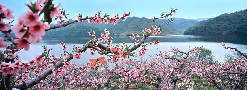 河口桃花漫山遍野,各種顏色爭相競艷,每年到此時都成為各地媒體報導焦點。