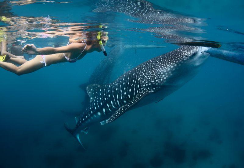 與世界上體型最大的鯨鯊和平共游,在奧斯陸就可以做到。(Photo│123RF)
