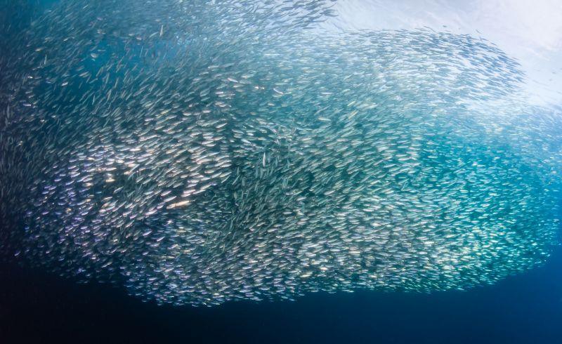 在莫亞礁能看見壯觀的沙丁魚風暴,牠們的隊形還會不時變換!(Photo│123RF)