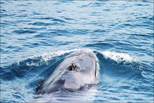 目前全球只有兩個地方發現角島鯨的蹤影,一個就是台灣!(圖/多羅滿賞鯨)