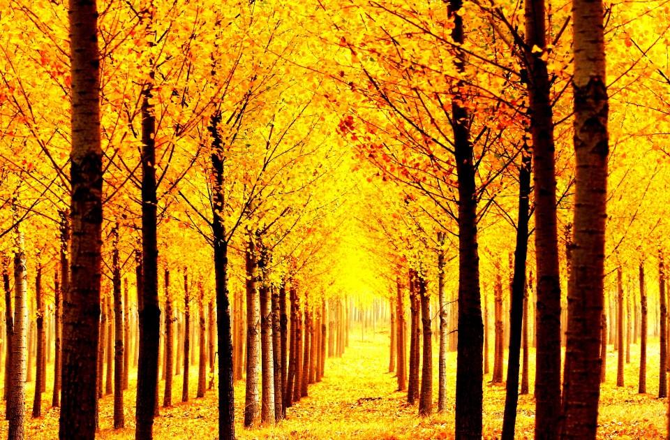 秋天黃杏盛開,丹東不能錯過之景色。(圖片/摘自樂遊遼寧官網)