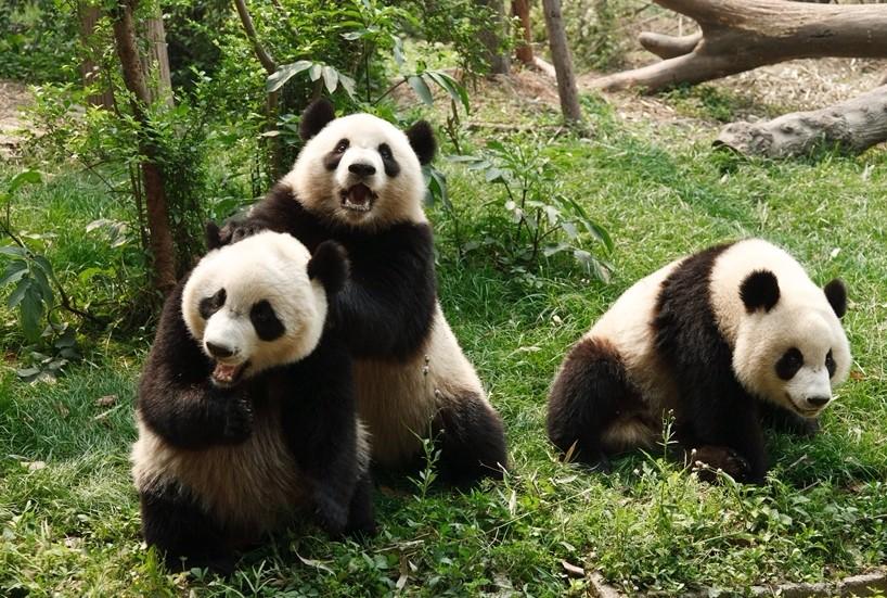 大熊貓繁育研究基地(圖片來源 欣傳媒)