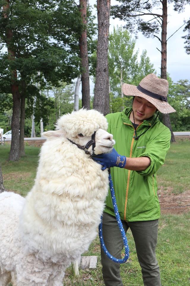 農場的明星人物:羊駝。
