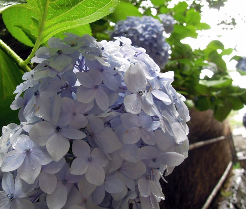 嵯峨野 花團錦簇的繡球花
