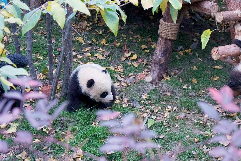 成都熊貓基地(圖:Kate