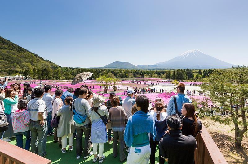 【富士山芝櫻祭】日本最大規模花祭,白皚富士山景與粉紅花海同框畫面! - threeonelee.com