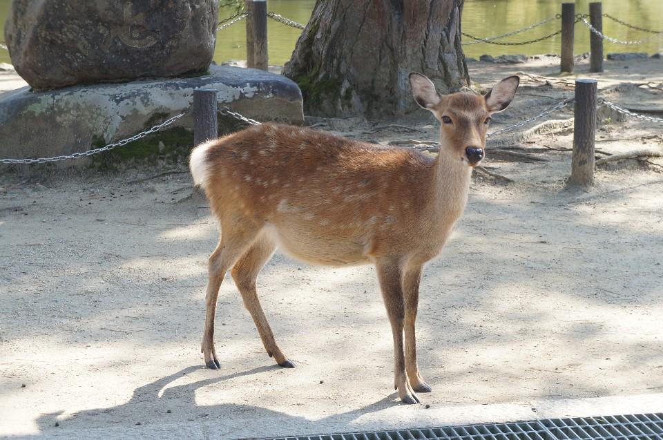 小鹿_【日本奈良】鹿鹿鹿!!!瘋狂梅花鹿公園-東大寺-Weiwei的旅行地圖 ...
