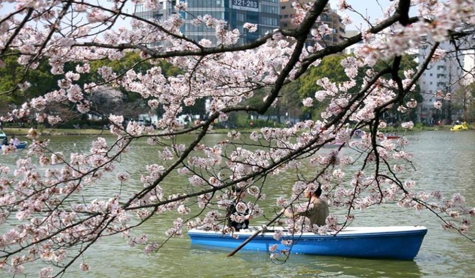 【2020東京賞櫻】東京賞櫻景點、花期預測、夜櫻時間、交通、住宿全攻略