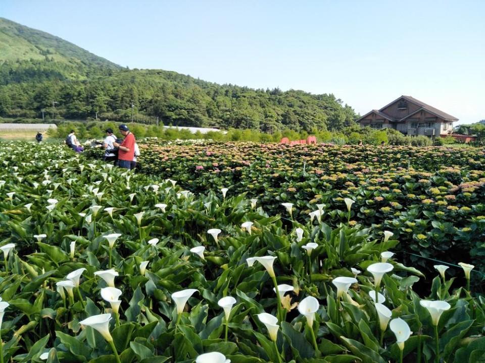 【2020竹子湖海芋季與繡球花季】時間、內容、交通管制、周邊住宿全攻略