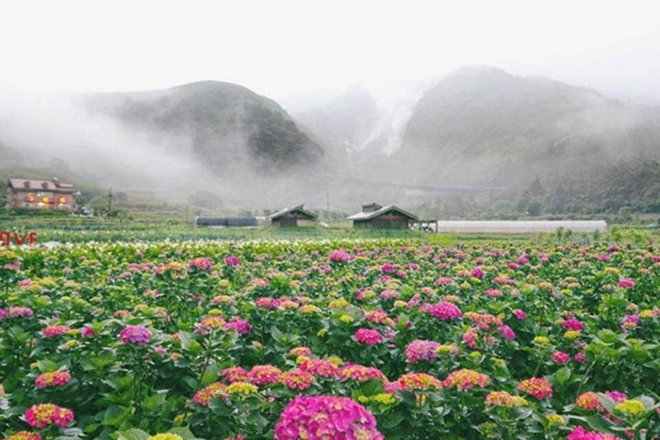 【陽明山竹子湖繡球花季】賞花農場、交管資訊、陽明山周邊懶人包!