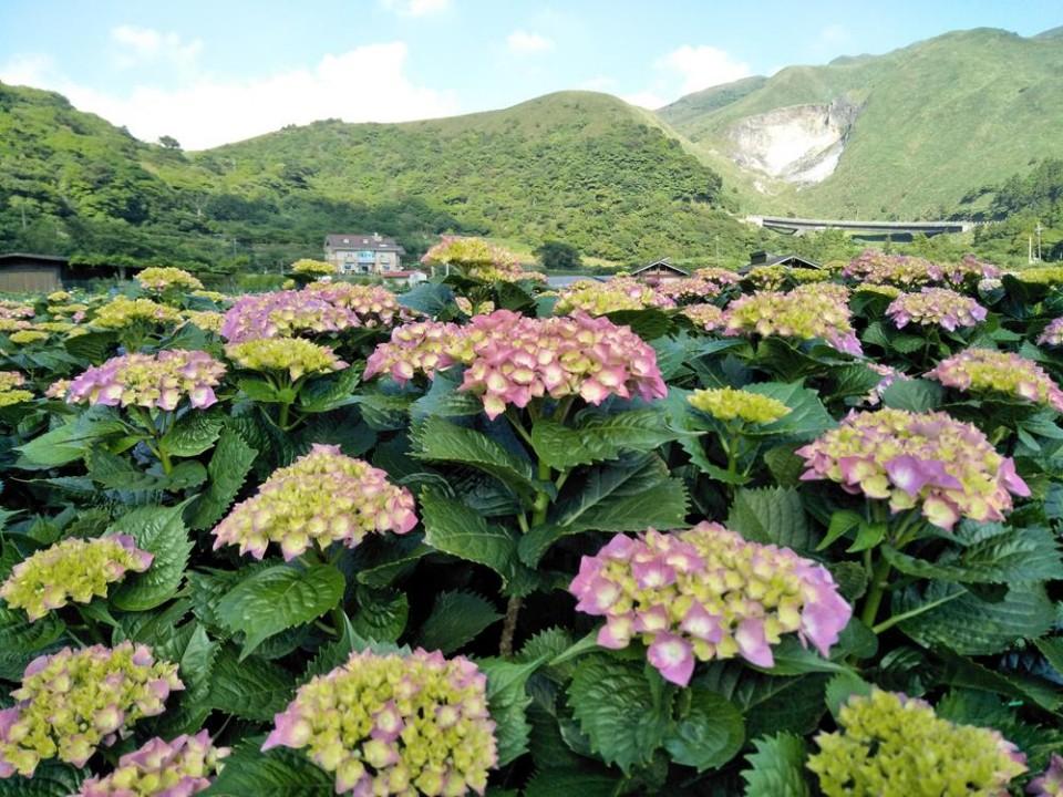 陽明山竹子湖繡球花季
