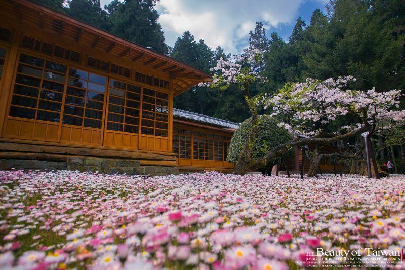貴賓日式庭院花海  圖攝/哈米貓