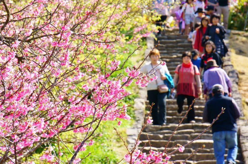 1月下旬至2 月下旬是今歸仁城的櫻花季,人潮滾滾。(圖片:雄獅旅遊)
