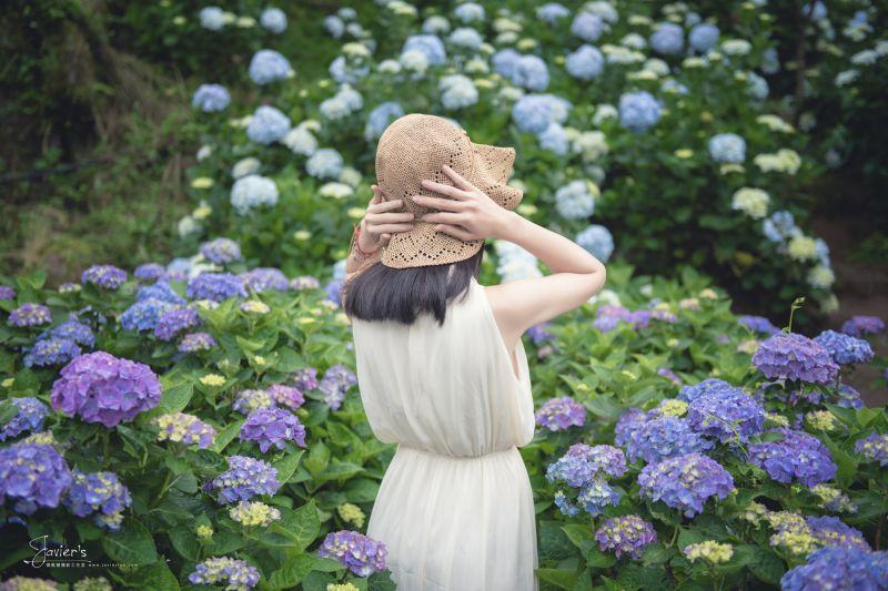 陽明山繡球花季 圖/攝 林亦倫