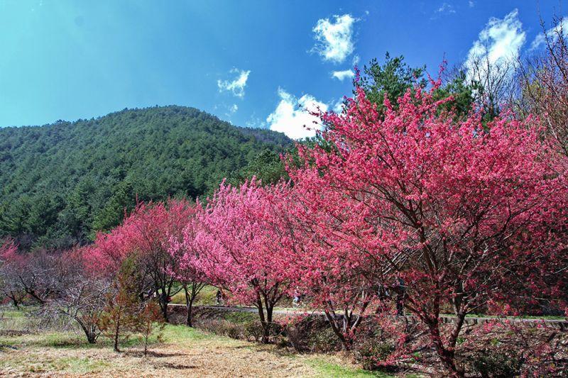 武陵櫻花季(欣傳媒資料照)