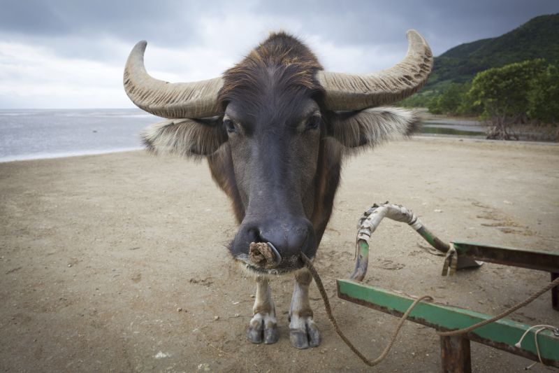 乘坐水牛車也是西表島旅遊的特色之一。(Photo│123RF)