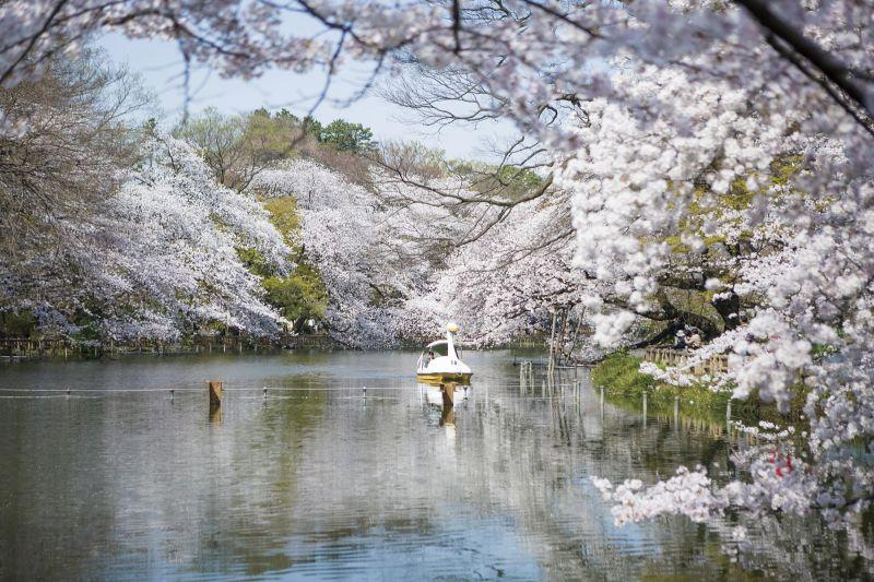 井之頭恩賜公園裡很多人散步,慢跑, 但春天更多人會選擇划船或踩天鵝船!(Photo│123RF)