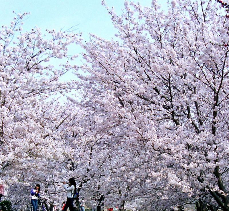 大連櫻花讓增添市區夢幻唯美。